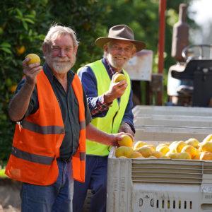 fresh harvest of oranges by aussie citrus farmers